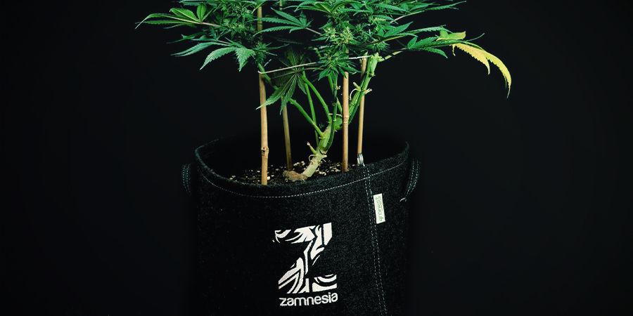 Las Plantas Autoflorecientes No Necesitan Ser Trasplantadas