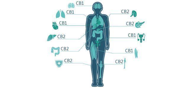 ¿Cómo Encaja El Sistema Endocannabinoide En Todo Esto?
