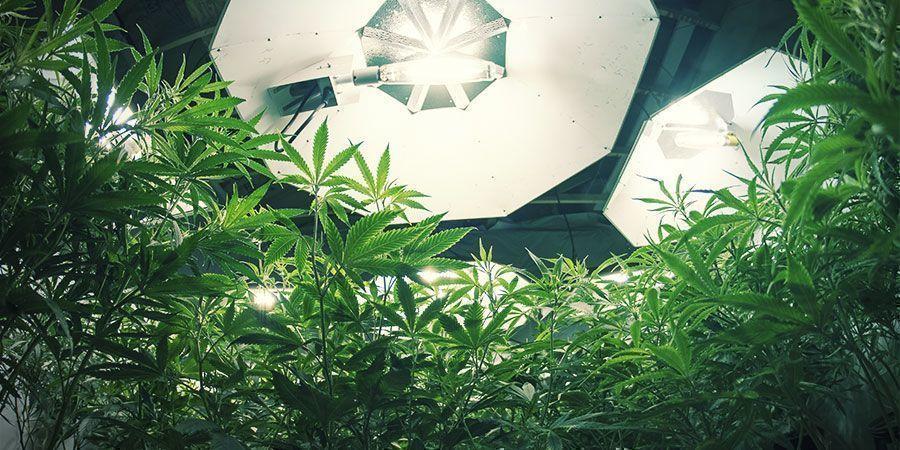 Luces HID - Plantas De Marihuana