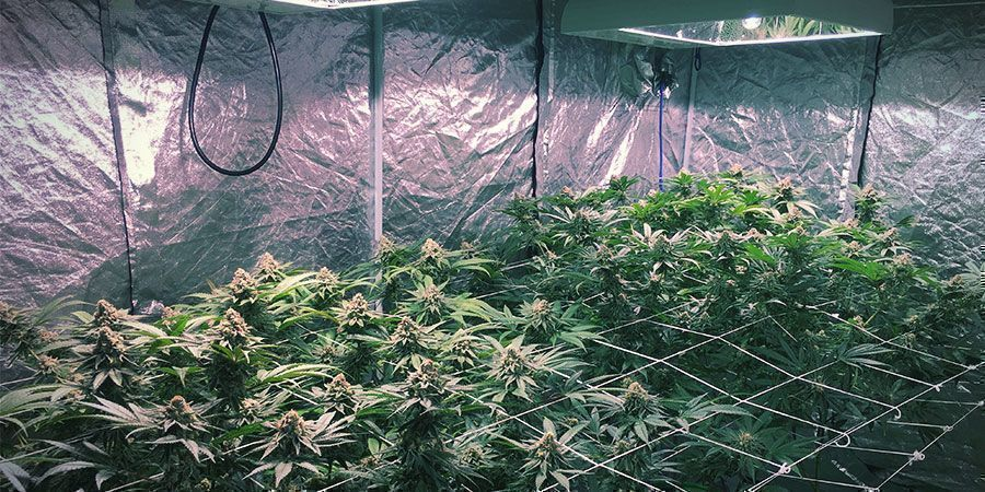 Luces LEC - Plantas De Marihuana