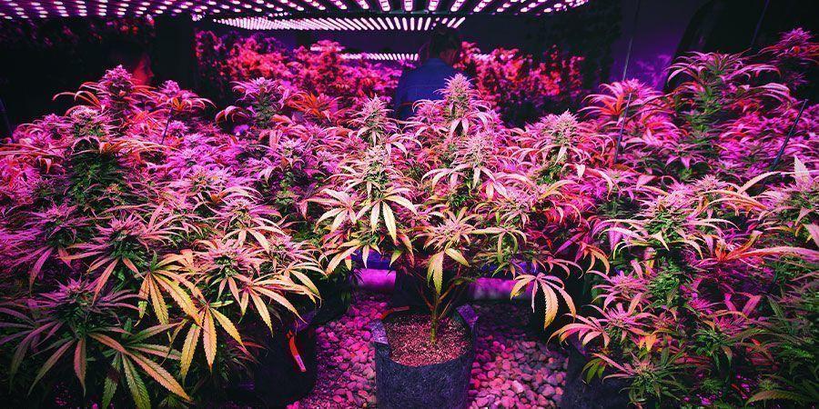 Luces LED - Plantas De Marihuana