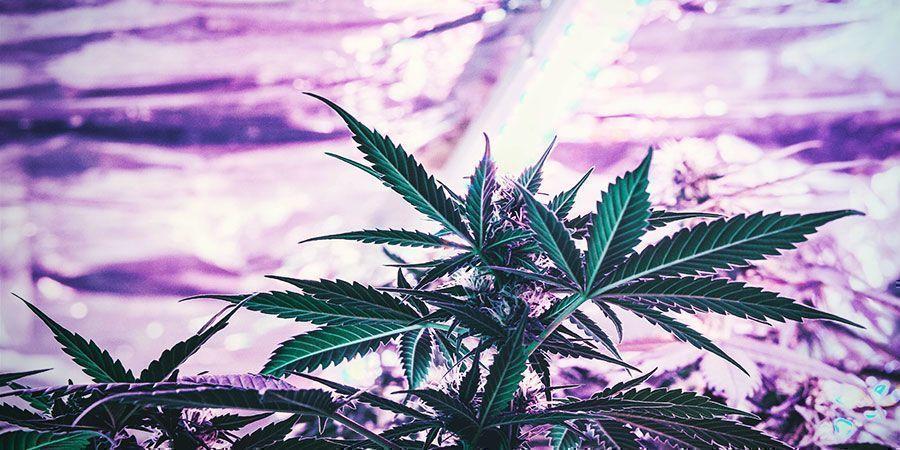 ¿Debes Regular La Altura De Tus Luces De Cultivo De Forma Frecuente? Plantas De Marihuana