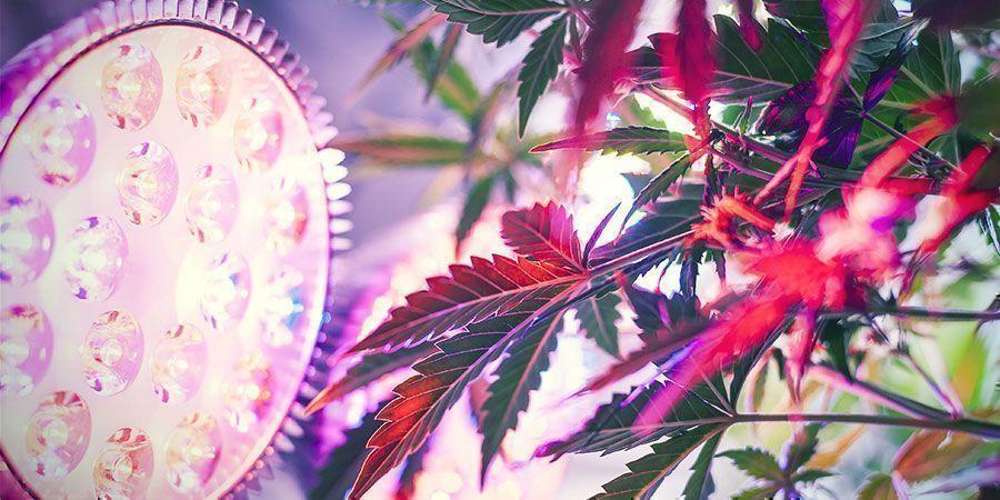 ¿Por Qué Es Importante La Distancia De Las Luces De Cultivo? - Plantas De Marihuana