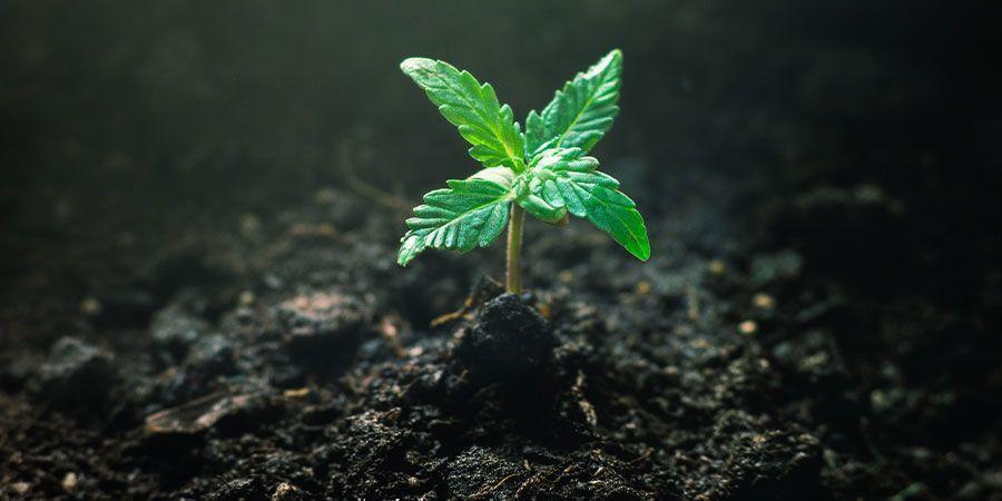 Alimentación De Los Plantones De Cannabis - Cuidar De Los Plantones De Cannabis