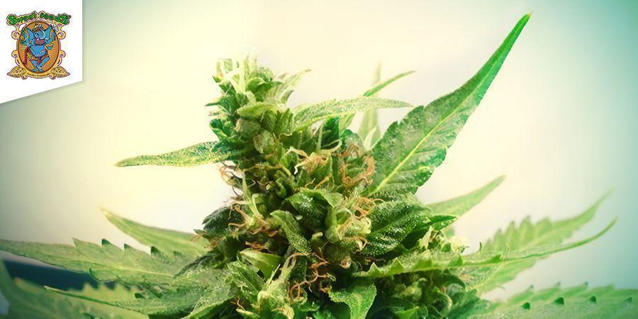 Sweet Pure Auto CBD (Sweet Seeds)
