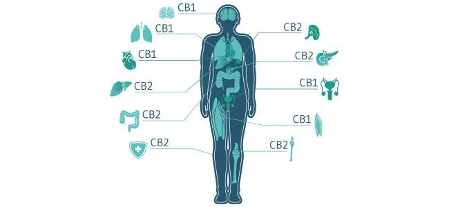 Cannabis Receptores