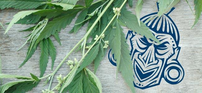 Cepas De Marihuana Sativas