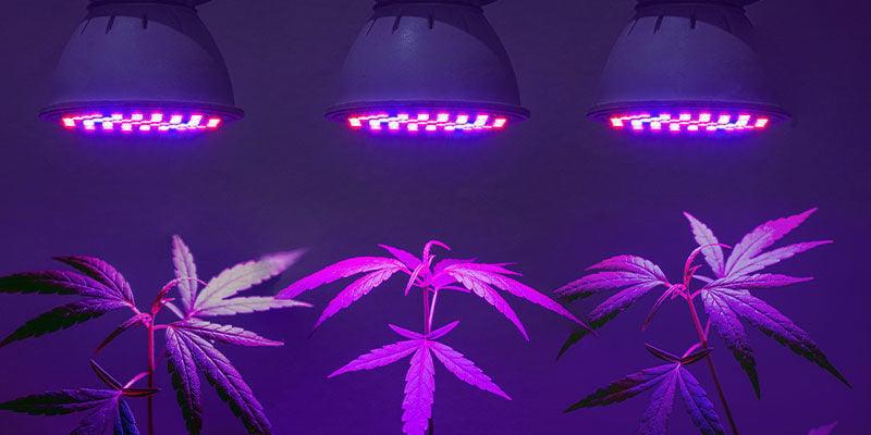 ¿Necesitas Luces UV Específicas Para El Cannabis?