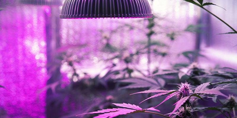 Cómo Iluminar Las Plantas De Marihuana Con Luz UV