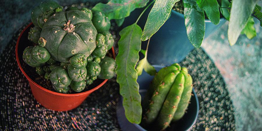 Cultivar Cactus De Mescalina A Partir De Semillas: Conclusión
