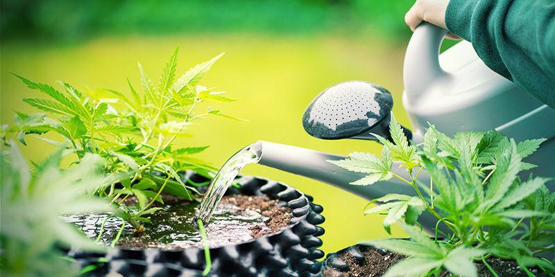 Plantas De Cannabis Sobredosis De Sílice