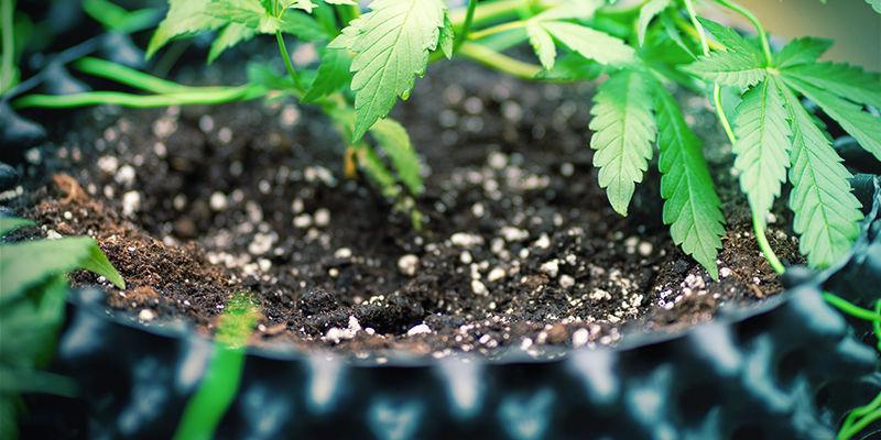 Mega Cogollos De Marihuana: Usar Sílice En Tierra