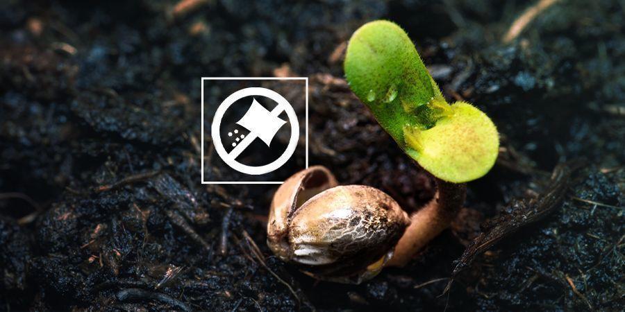 No Fertilices Las Plántulas De Cannabis