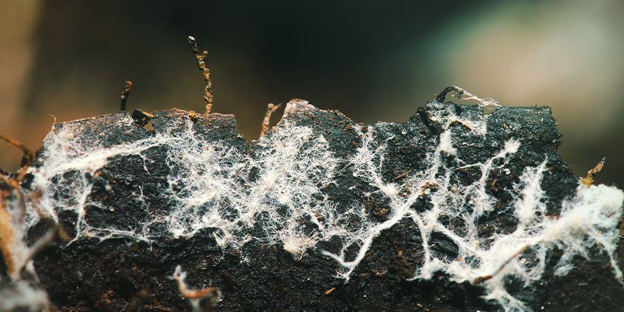 Utiliza Microorganismos / Micorrizas (Hongos) Beneficiosos