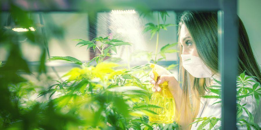 Cómo Y Cuándo Pulverizar Las Hojas De Tus Plantas De Marihuana
