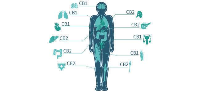 ¿Cómo Interactúa El CBD Con El Sistema Endocannabinoide?