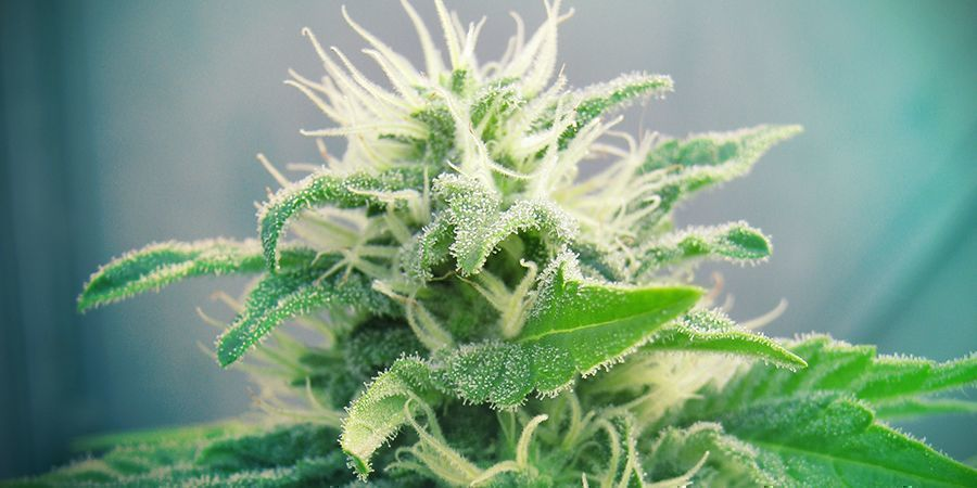 Cepa De Marihuana Jack Herer