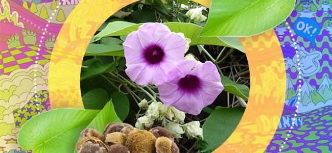 ¿Qué Es La Hawaiian Baby Woodrose?