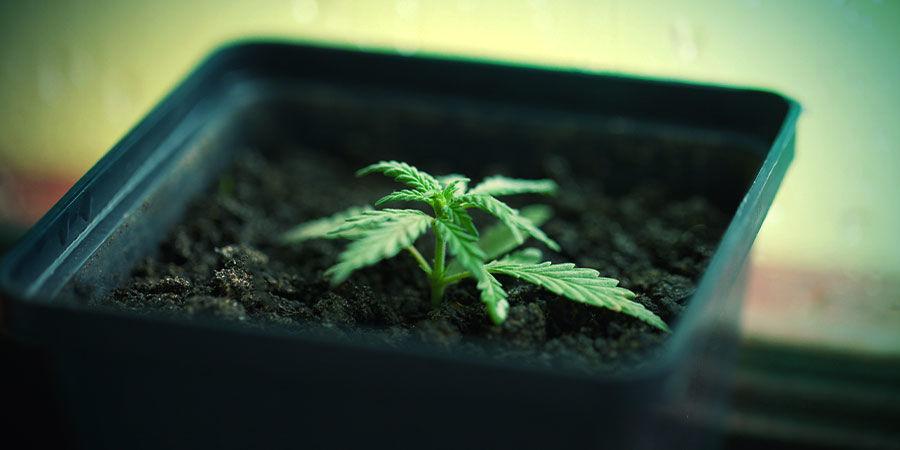 Cultivo Cannabis En Tiestos