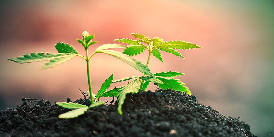 Cultivo Cannabis En Suelo