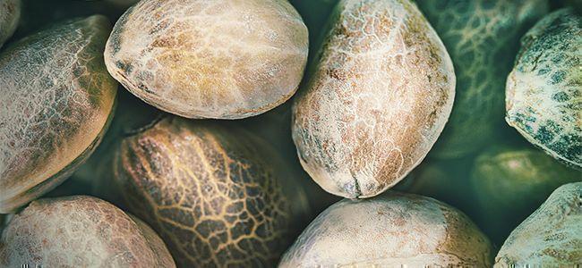 Hierba Mejor: Semillas De Calidad