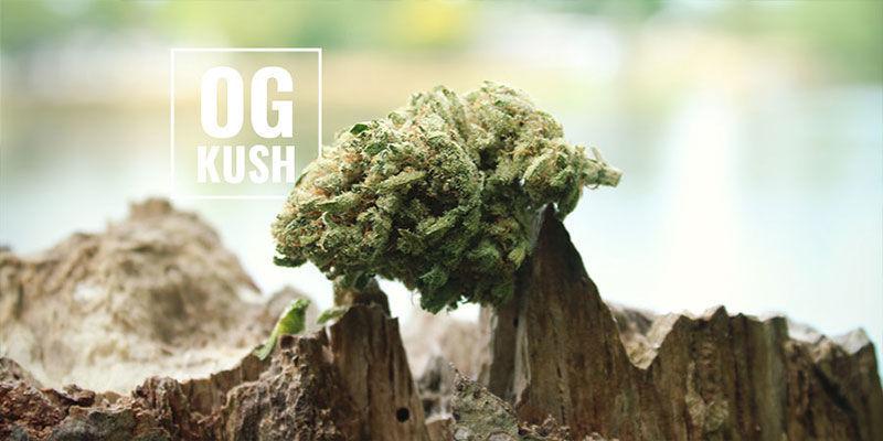 OG Kush Marihuana: ¿Qué Significa OG?