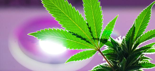 Luz Cannabis