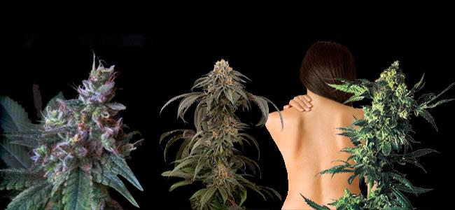 variedades de marihuana CBD para el dolor