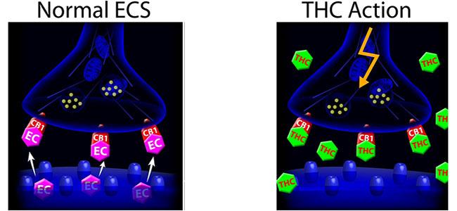 Endocannabinoid sistema thc