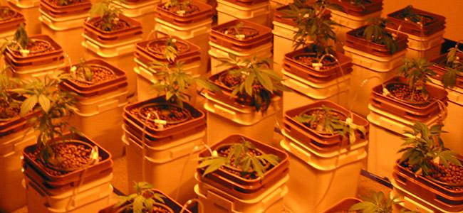 Hidro Cultivar Cannabis