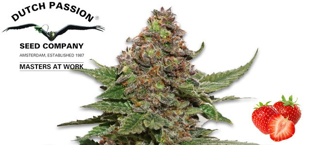 Strawberry Cough Zamnesia Seeds