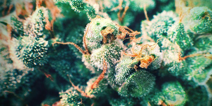 Cannabis Pelos Dorados