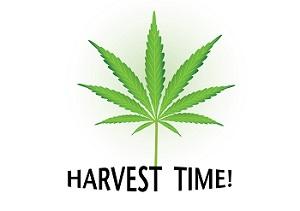 Tiempo de cosecha Cannabis