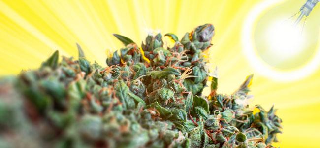 Iluminación De Las Plantas De Cannabis