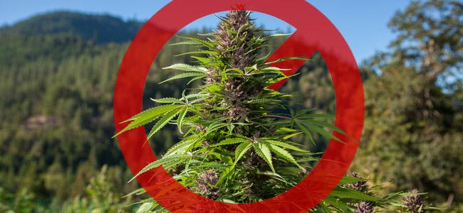Crecimiento fuera prohibidam Cannabis