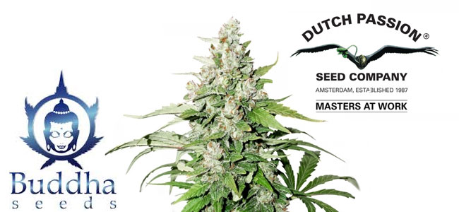Auto Cinderella Jack Dutch Passion
