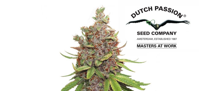 Auto Glueberry OG Feminized Dutch Passion