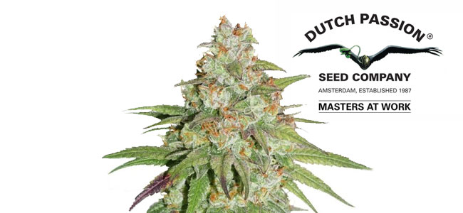 Glueberry OG Feminized Dutch Passion