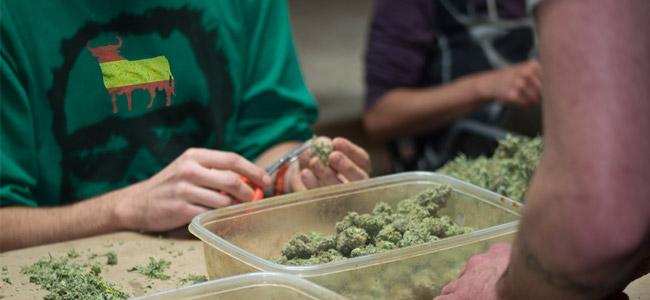 España Cannabis manicuradores de cogollos