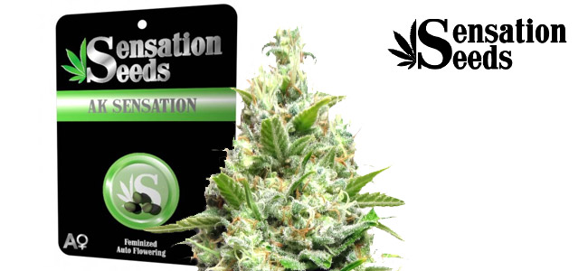 AK Sensation Sensation Seeds