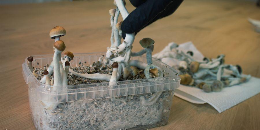 Cómo Trabajar De Forma Aséptica Con Los Kits De Cultivo De Setas Mágicas