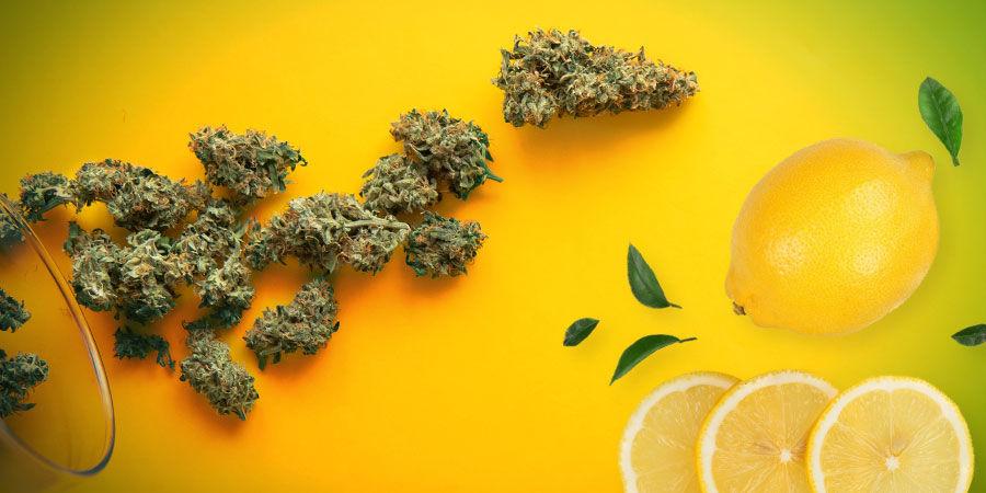 Fumar La Amnesia Haze: Aroma, Sabor Y Efecto