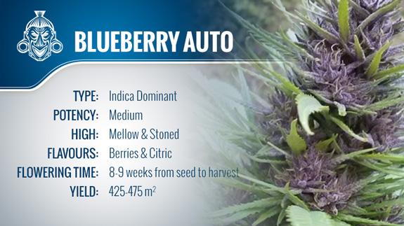 Blueberry Automatic (Zamnesia Seeds) Fem.