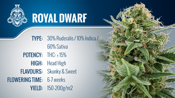 Royal Dwarf (Royal Queen Seeds) Fem.