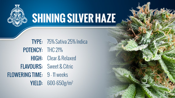 Shining Silver Haze (Royal Queen Seeds) Fem.