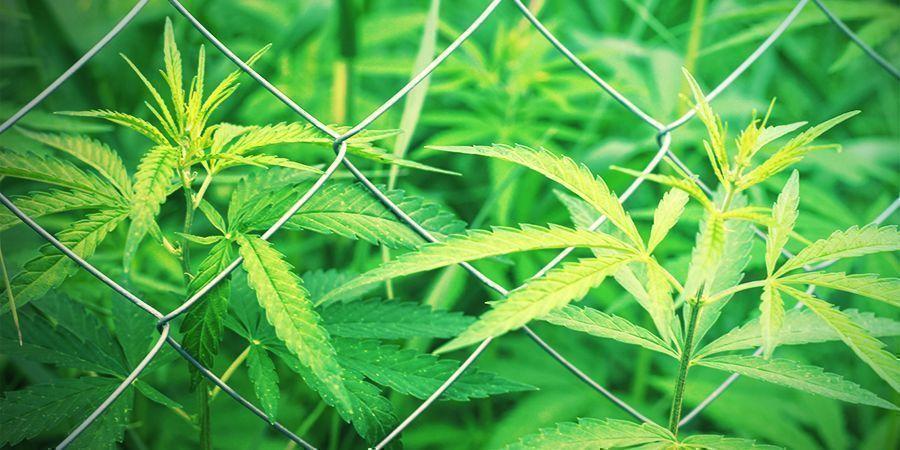cómo elegir el sitio del cultivo cannabis al aire libre