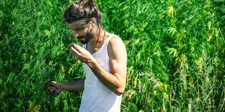La marihuana tiene un olor fuerte