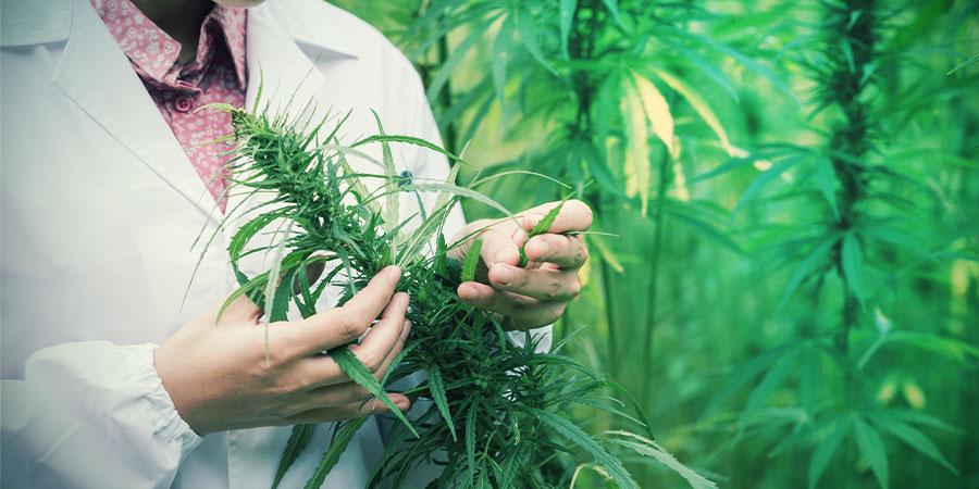 ¿Se Puede Tratar El Dolor Con Marihuana?