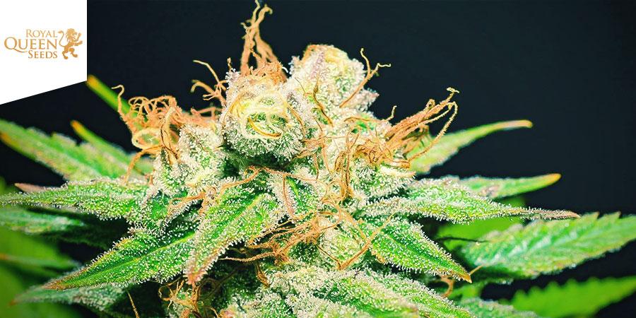 Hulkberry Royal Queen Seeds