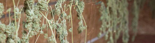 Secado cannabis
